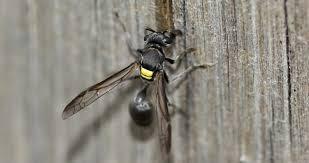 Veneno de vespa brasileira mata células cancerígenas sem atingir células saudáveis