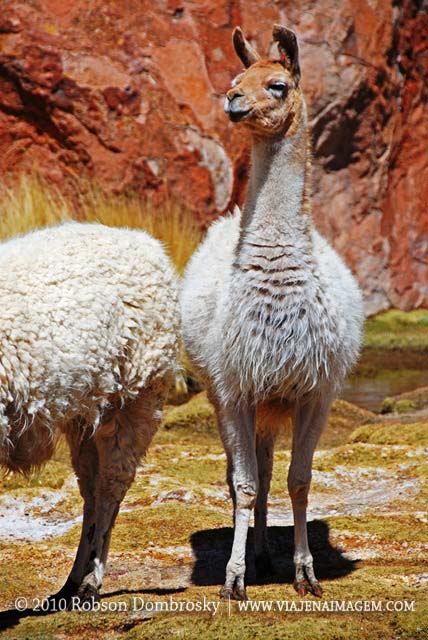 guanacos ou vicunhas