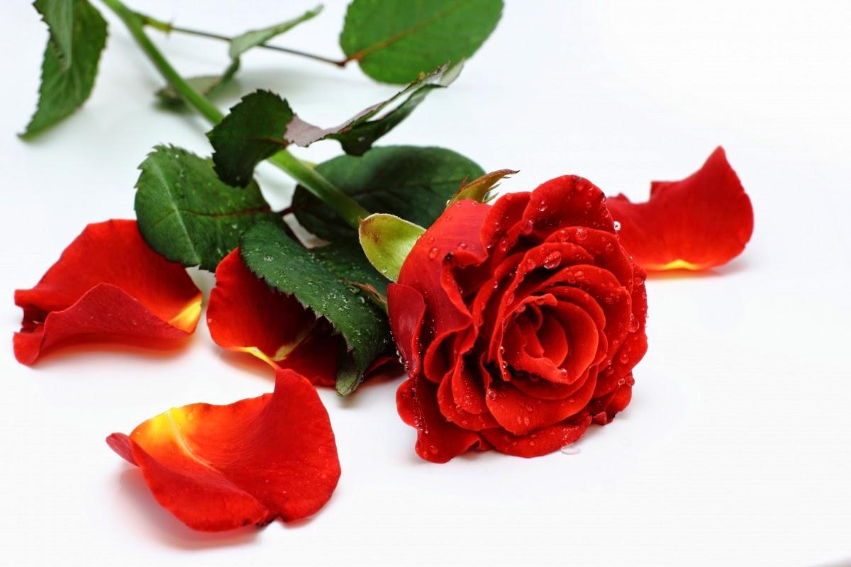 jardim rosas vermelhas:rosa que fez a humanidade chorar