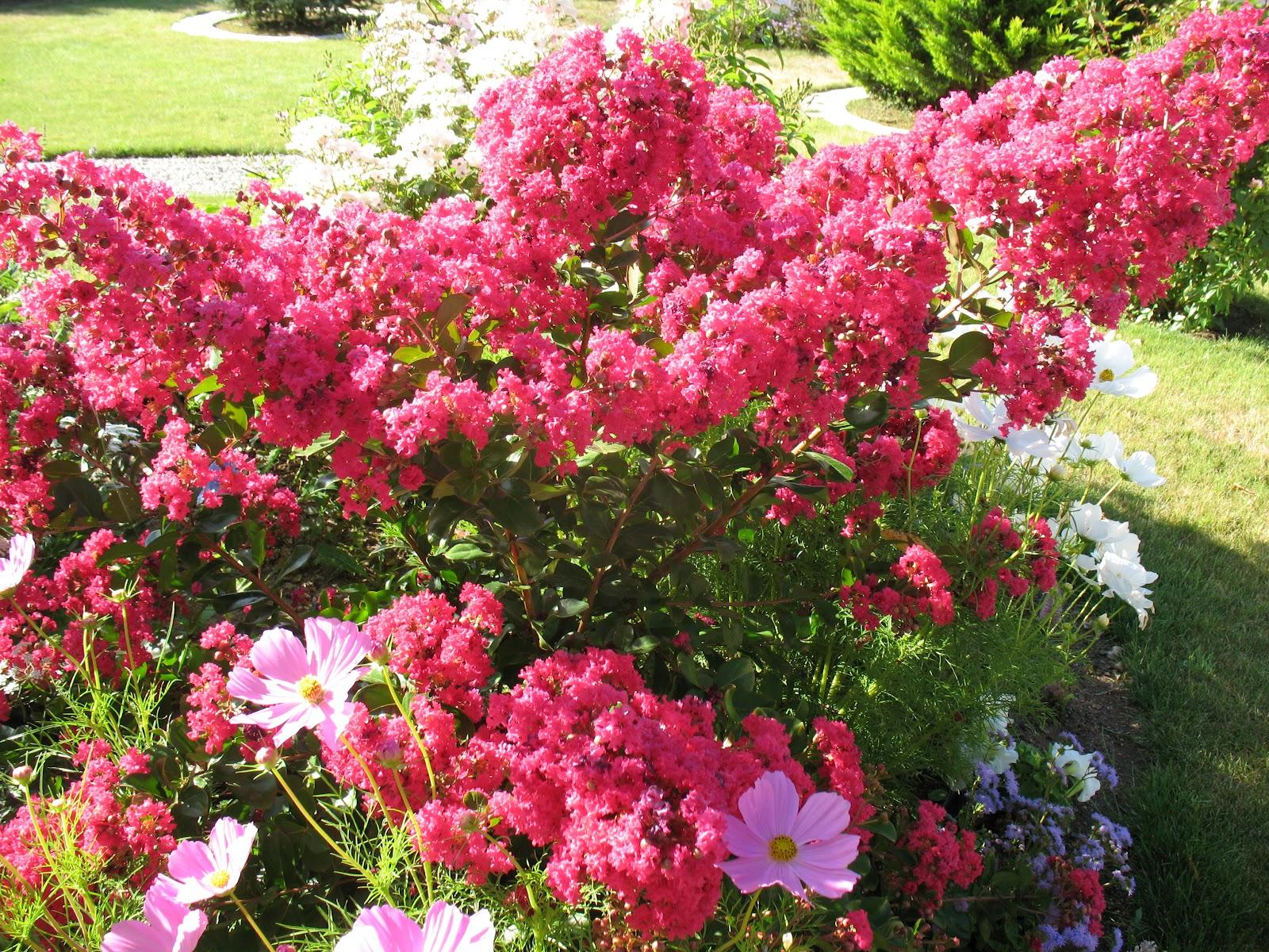 Le lilas des indes un arbuste spectaculaire autos weblog - Le lilas des indes ...
