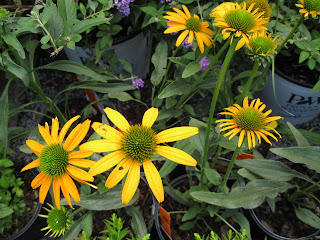 Now Cheesier echinacea