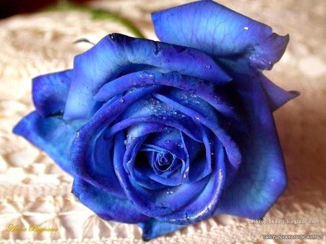 Hình ảnh đẹp về hoa hồng xanh