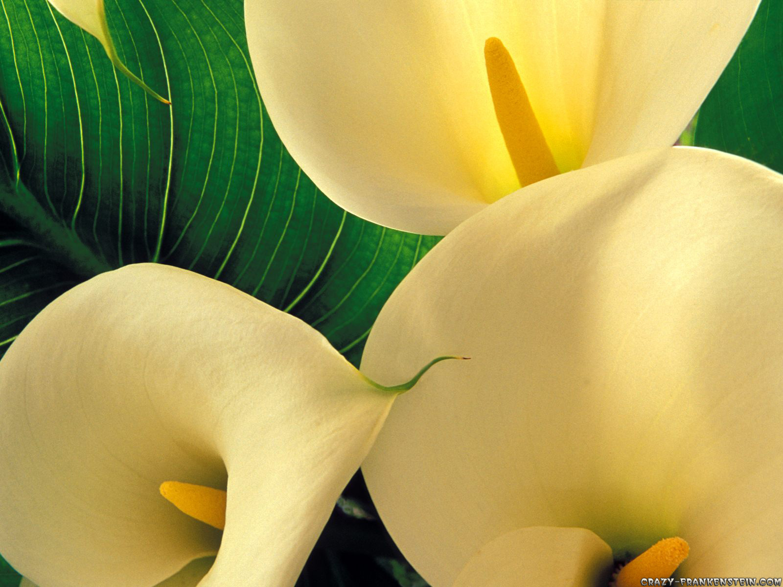 Calla Lily Flowers Wallpapers Excellent Pics of Calla Lily