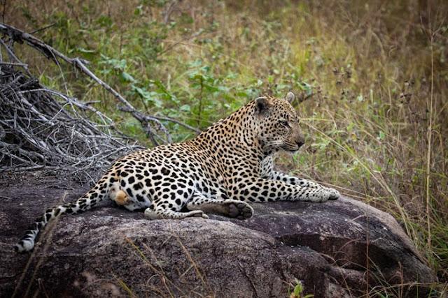 الفهد يجلس على الصخرة
