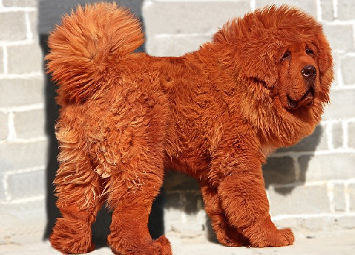 Dogs collection of 2012 tibetan mastiff dog price in india