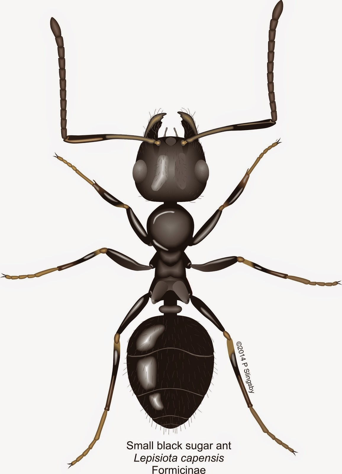 how to get rid of ghost ants ghost ant control info small black ants