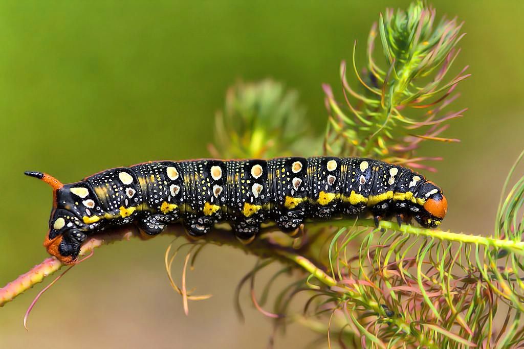 Para ampliar Hyles euphorbiae (Linnaeus 1758) Esfinge de la lechetrezna hacer clic