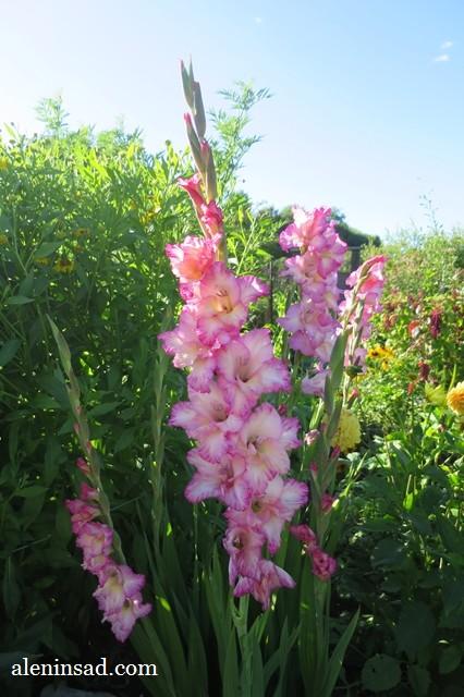 сорт, Присцилла, Priscilla, аленин сад, розовый, гофрированный