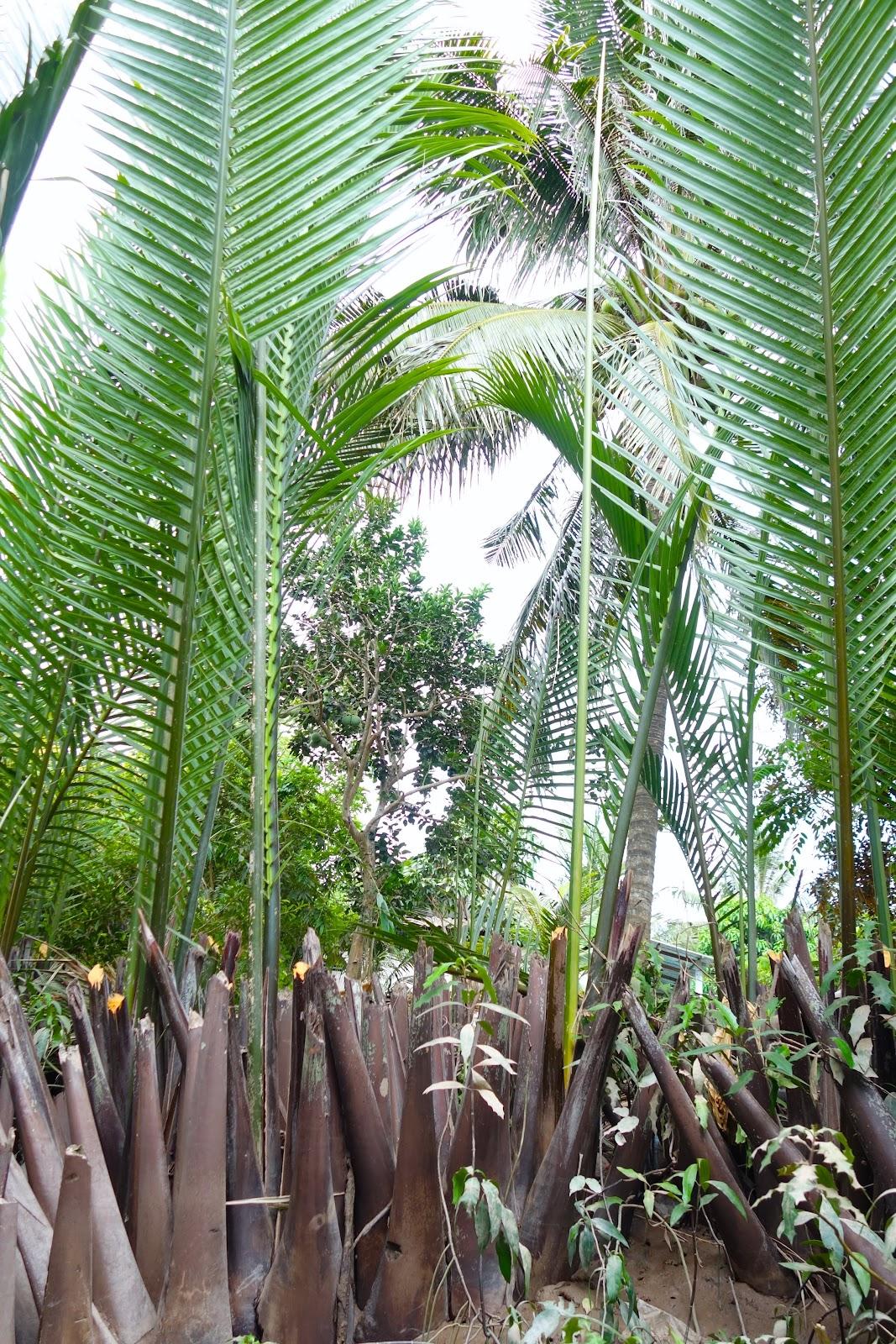 water coconut tree Mekong Delta Vietnam 2015