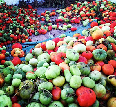 hudreds of freshly harvested red and green tomatoes