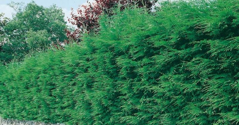 Mon arbre le de vivre le douaire tout savoir sur le - Plantation cypres de leyland ...