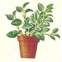 planta-doente