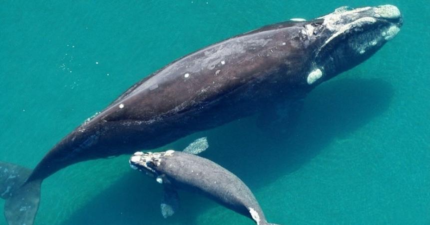 baleia franca austral sul
