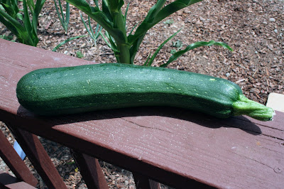 Fresh zucchini from the community garden