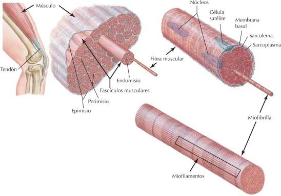 Sistema muscular: estructura del músculo esquelético | Netter Blog
