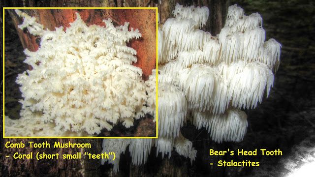 Bear's Head Tooth Mushroom and Comb Tooth Mushroom Comparison