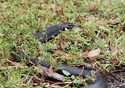 Mike was as close as four feet from this Red Bellied Black Snake when he .