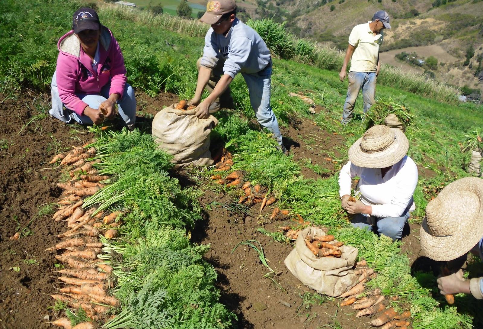 Tierra y mar blog archive jornaleros andaluces for La zanahoria es una hortaliza