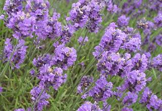 Lavender Tanaman Pereda Stres