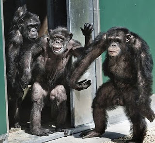 chimpancés liberados