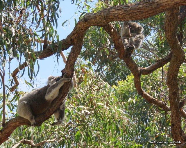 Raymond Island koala and baby