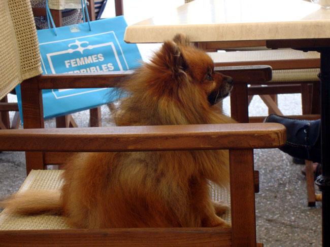 Handbag Dogs For Sale Nsw
