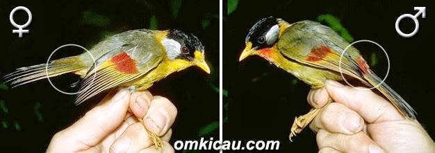 Foto Burung Panca Warna Jantan