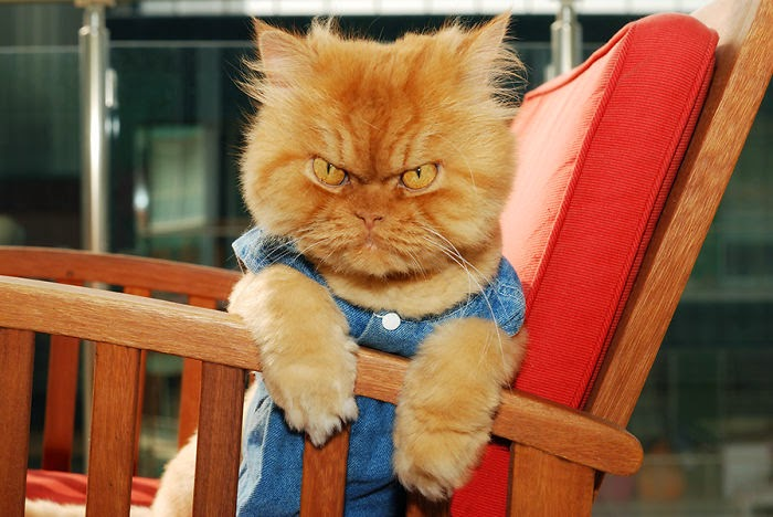 Garfi is the world's angriest cat (20 pics), Garfi the angry cat, photos of Garfi
