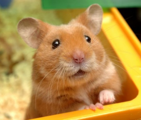 Best Food For Baby Hamsters
