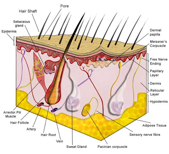 1 Anatomi Dan Fisiologi Kulit