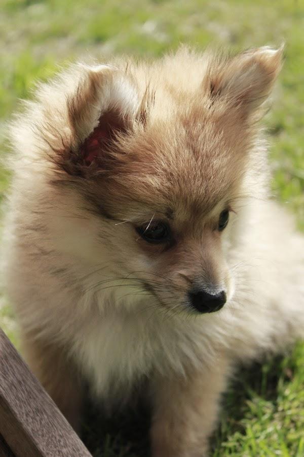 pomeranian, hund, hundar, valp, valpar, valpen, blandras, blandraser, liten hund