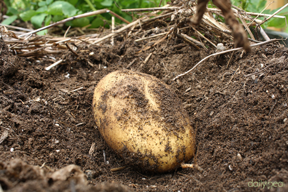 when to harvest potatoes from the garden when to harvest potatoes in the garden stunning things