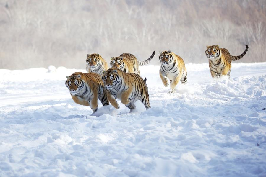 130213_tigres-corriendo-sobre-la-nieve_l
