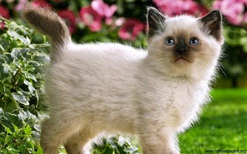 Photo chaton siamois dans un jardin