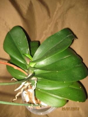 Растет новый лист у фаленопсиса в январе