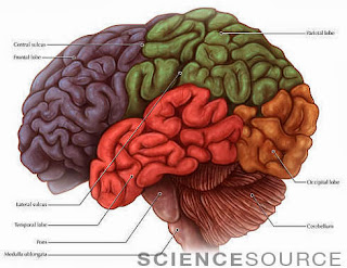 Lobes of the Brain Diagram