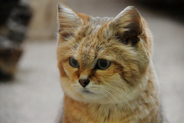 Arabian Sand Cat For Sale