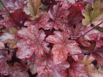 HEUCHERA PEACH FLAMBE.