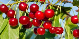 4 Manfaat Buah Cherry buat badan
