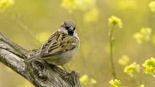 download Sparrow Bird Branch hd wallpaper 2013