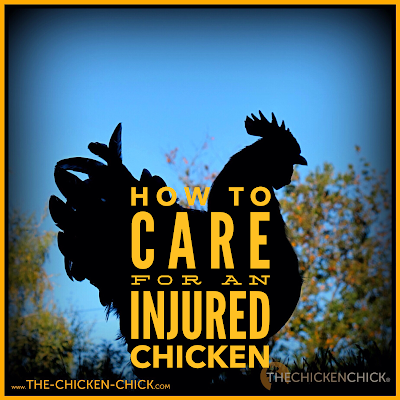 How to Care for an Injured Chicken