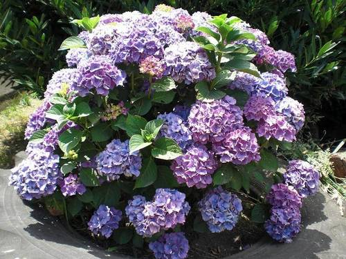 La hortensia y su origen japon s - Poda de hortensias en maceta ...