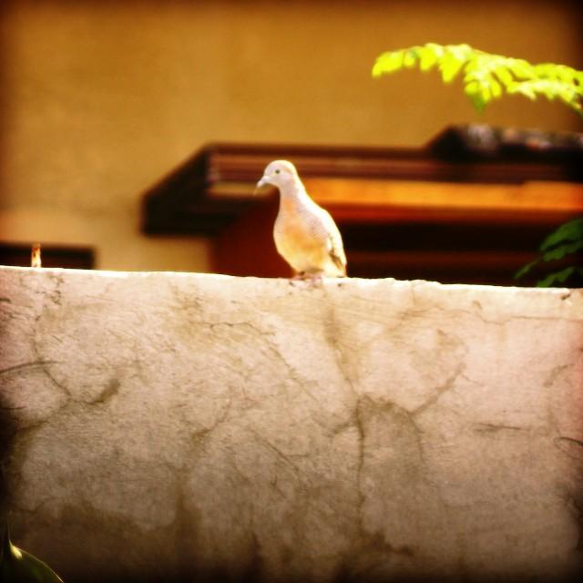 alimukon (wild pigeon) photo by julienne
