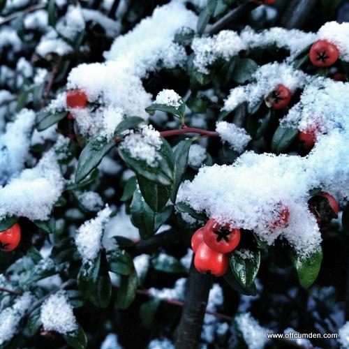 Berries in snow