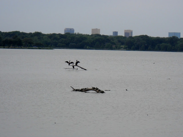 Several smaller turtles sharing a tree limb in Sunset Bay White Rock Lake, Dallas, T