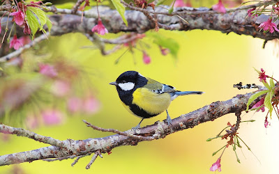 Titmouse Wallpaper | Free Wallpapers, Desktop Wallpapers, HD