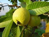 Guava/Psidium guajava are used to treat diarrhea