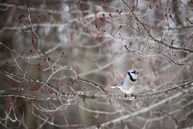 Ohio Blue Jay in February