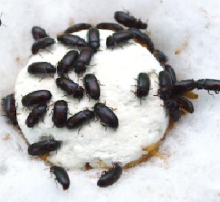 Semut Jepang Dengan Manfaatnya