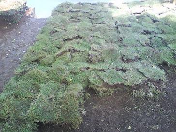 rumput peking
